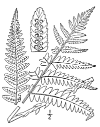 drawing of dryopteris goldiana plant parts