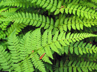 photo of dryopteris intermedia