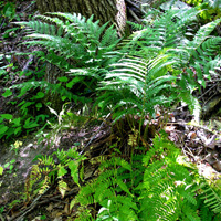 photo of dryopteris marginalis