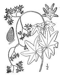 Drawing of lygodium palmatum plant parts