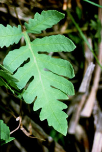 photo of onoclea sensibilis
