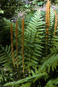 photo of osmunda cinnamomea