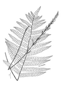 drawing of osmunda cinnamomea plant parts