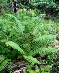 photo of osmunda claytoniana