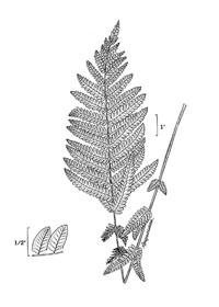 drawing of osmunda claytoniana plant parts
