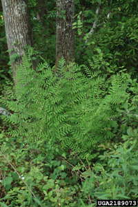 photo of osmunda regalis