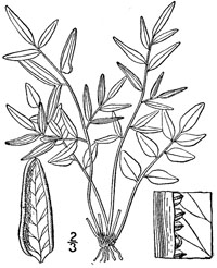 drawing of pellaea atropurpurea plant parts