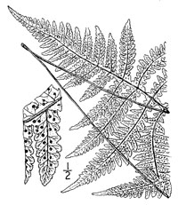 drawing of phegopteris hexagonoptera plant parts