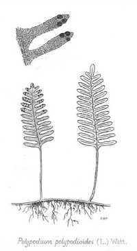 drawing of pleopeltis polypodioides plant parts