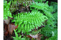 photo of polypodium virginianum
