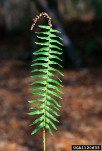 photo of polystichum acrostichoides
