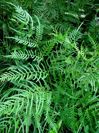 photo of pteridium aquilinum