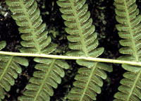 photo of thelypteris kunthii