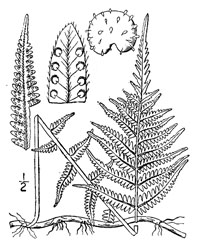 drawing of thelypteris noveboracensis plant parts