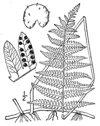 drawing of thelypteris palustris plant parts