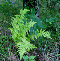 photo of woodsia obtusa
