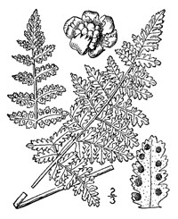 drawing of woodsia obtusa plant parts