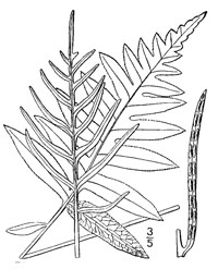 drawing of woodwardia areolata plant parts