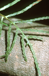 close-up photo of woodwardia areolata sori