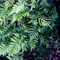 photo of woodwardia areolata