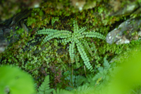 photo of asplenium trichomanes