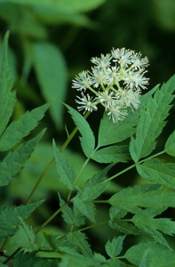Doll's Eyes, White Baneberry / <em>Actaea pachypoda</em>