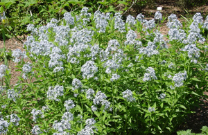 Wideleaf Blue Star, Eastern Blue Star / Amsonia tabernaemontana