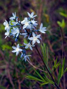 Fringed Blue Star / Amsonia ciliata