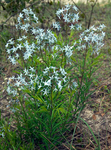 Fringed Blue Star / Amsonia ciliata
