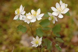 Rue-anemone / Anemonella thalictroides (syn. Thalictrum thalictroides)