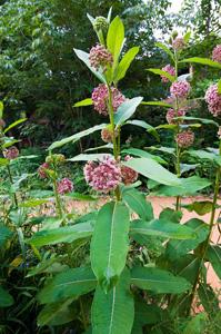 Common Milkweed / Asclepias syriaca