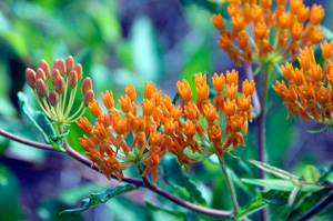 Butterfly Weed, Butterfly Milkweed / Asclepias tuberosa