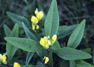 Gopherweed / Baptisia lanceolata