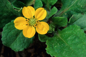 Green-and-gold / Chrysogonum virginianum