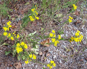 Maryland Goldenaster / Chrysopsis mariana