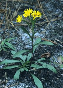 Maryland Goldenaster / Chrysopsis mariana
