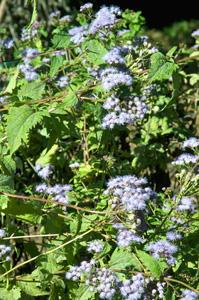 Blue Mistflower / Conoclinium coelestinum