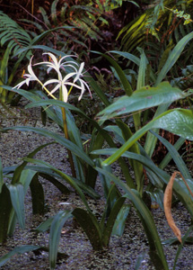 Crinum Lily, Seven Sisters, String Lily, Swamp Lily / Crinum americanum