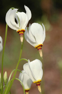 Eastern Shooting Star / Dodecatheon meadia