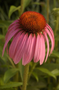 Purple Coneflower / Echinacea purpurea