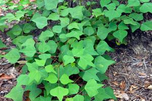 Coral Bean, Cherokee Bean, Red Cardinal / Erythrina herbacea