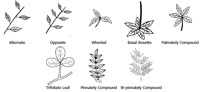 Figure 2. Common Leaf Arrangements