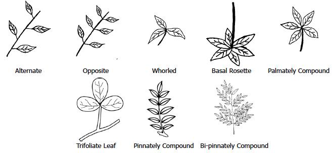 Figure 2. Common Leaf Arrangements