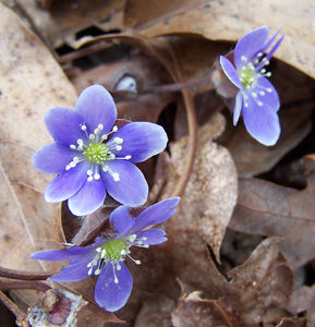 Hepatica, Liverleaf Hepatica / Hepatica americana (syn. Anemone americana, Hepatica nobilis var. obtusa)