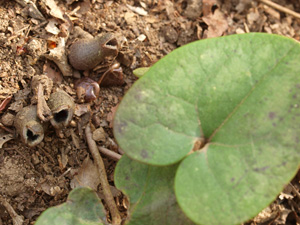 Little Brown Jug, Heartleaf, Evergreen Wild Ginger / Hexastylis arifolia (syn. Asarum arifolia)