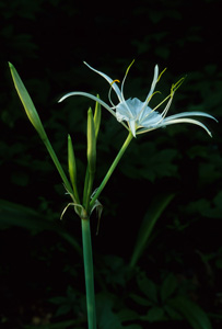 Spider Lily, Carolina Spiderlily / Hymenocallis occidentalis