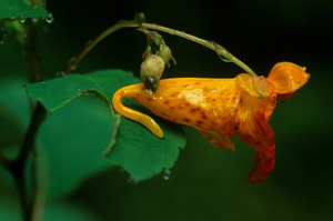 Orange Jewelweed, Spotted Touch-me-not / Impatiens capensis
