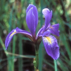 Virginia Iris, Southern Blueflag / Iris virginica