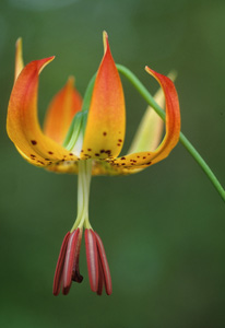 Carolina Lily / Lilium michauxii