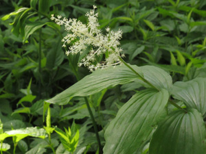 Solomon's Plume, Feathery False Lily-of-the-Valley / Maianthemum racemosum (Syn: Smilacina racemosa)